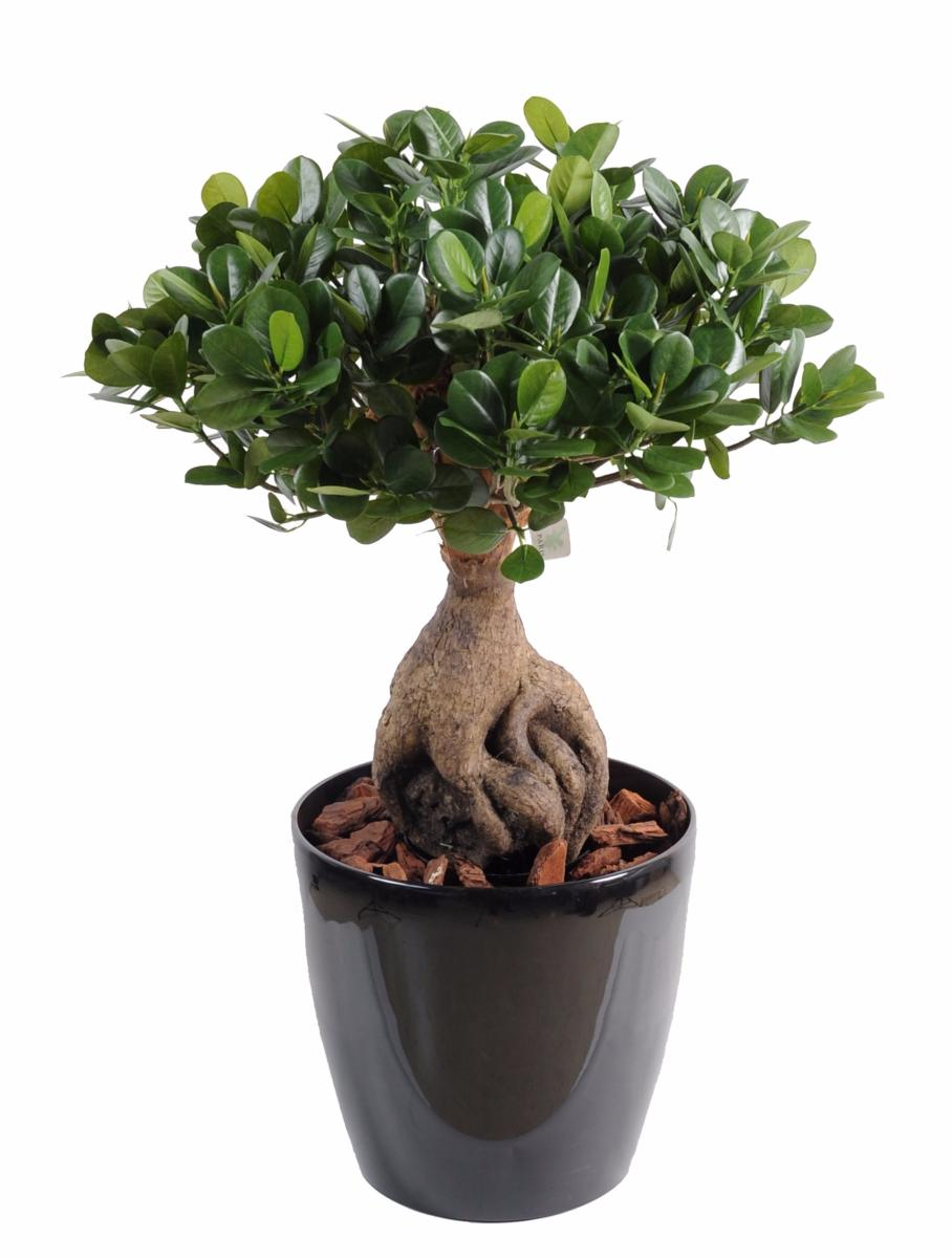 Bonsa artificiel arbre miniature ficus panda ginseng for Belle plante exterieur