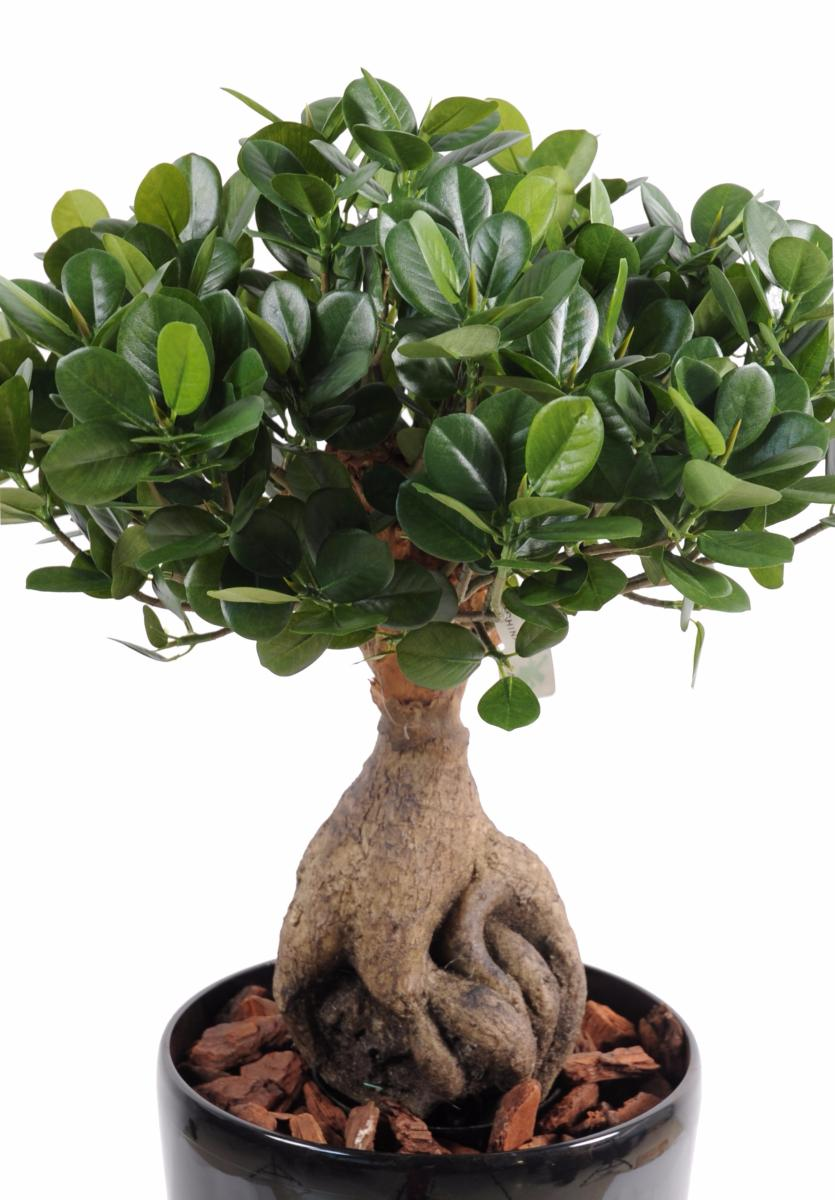 Bonsa artificiel arbre miniature ficus panda ginseng for Arbre bonsai exterieur