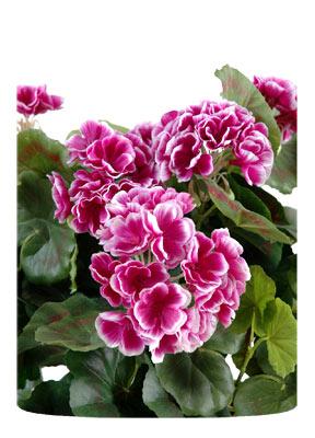 Plante fleurie artificielle g ranium en piquet 35cm fuchsia for Plante fushia exterieur