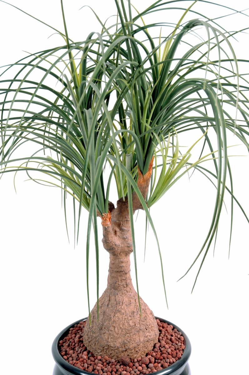 Plante artificielle beaucarnea pied d 39 l phant int rieur for Plante verte d interieur photo
